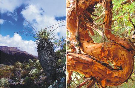 Innumerable es la biodiversidad y el endemismo que se encuentran en nuestro PN Sierra de La Culata, representada por plantas como los radiantes Frailejones y los incomparables Coloraditos